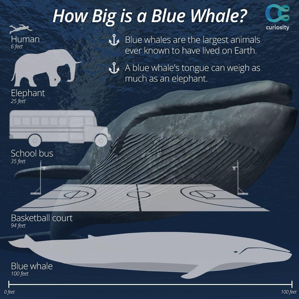 Biggest Animal Ever Recorded | www.pixshark.com - Images ...
