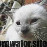 Newest Photo siamese cats facts Style Siamese kitties work best recognized for    Newest Photo siamese cats facts Style Siamese kitties work best recognized for