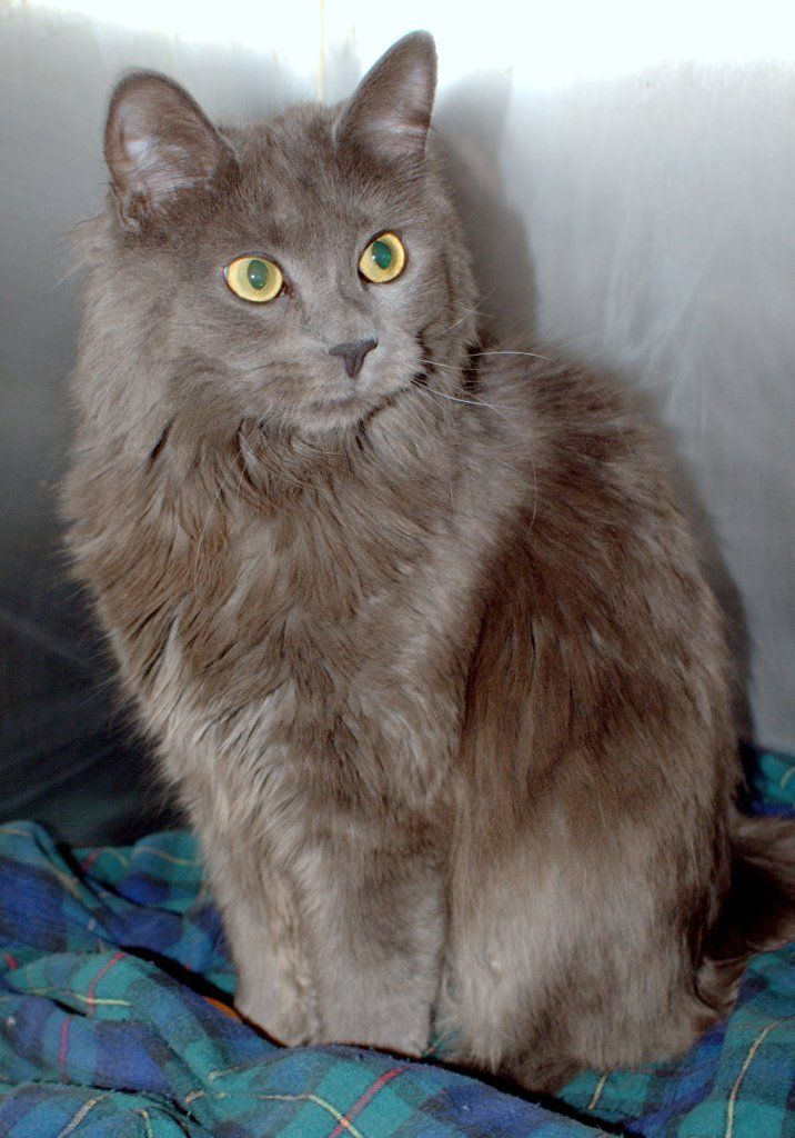 grey long hair cat breeds gray cat. Cortney...Koby Cat