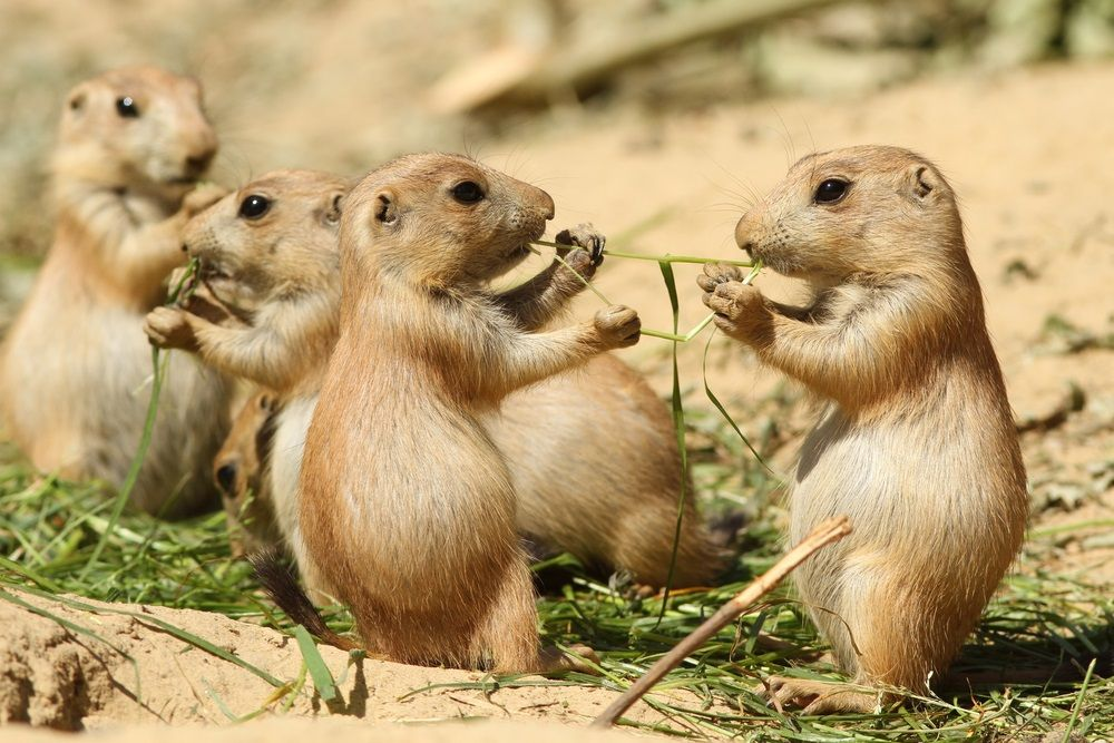 Groups of prairie dogs live together in extensive