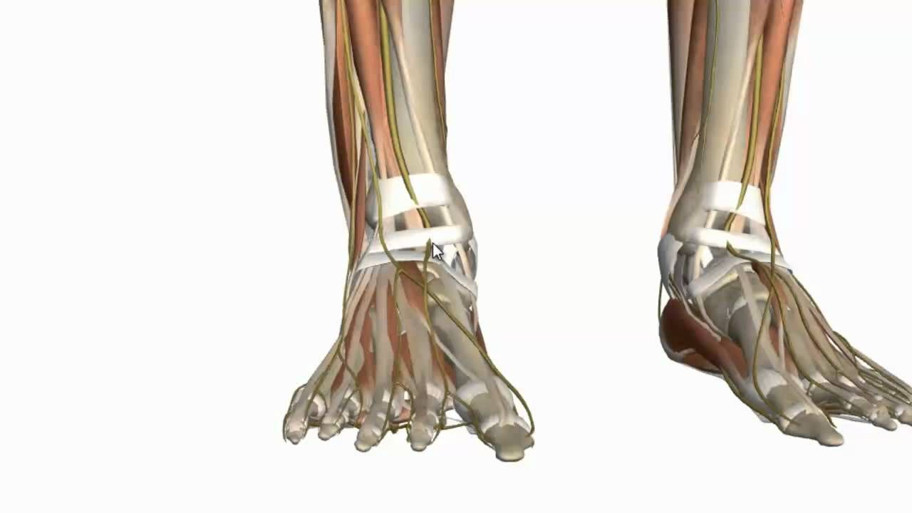 Httpanatomyzone 3d anatomy tutorial on the intrinsic httpanatomyzone 3d anatomy tutorial on the intrinsic muscles of the foot using the zygote body browser httpzygotebody ccuart Choice Image