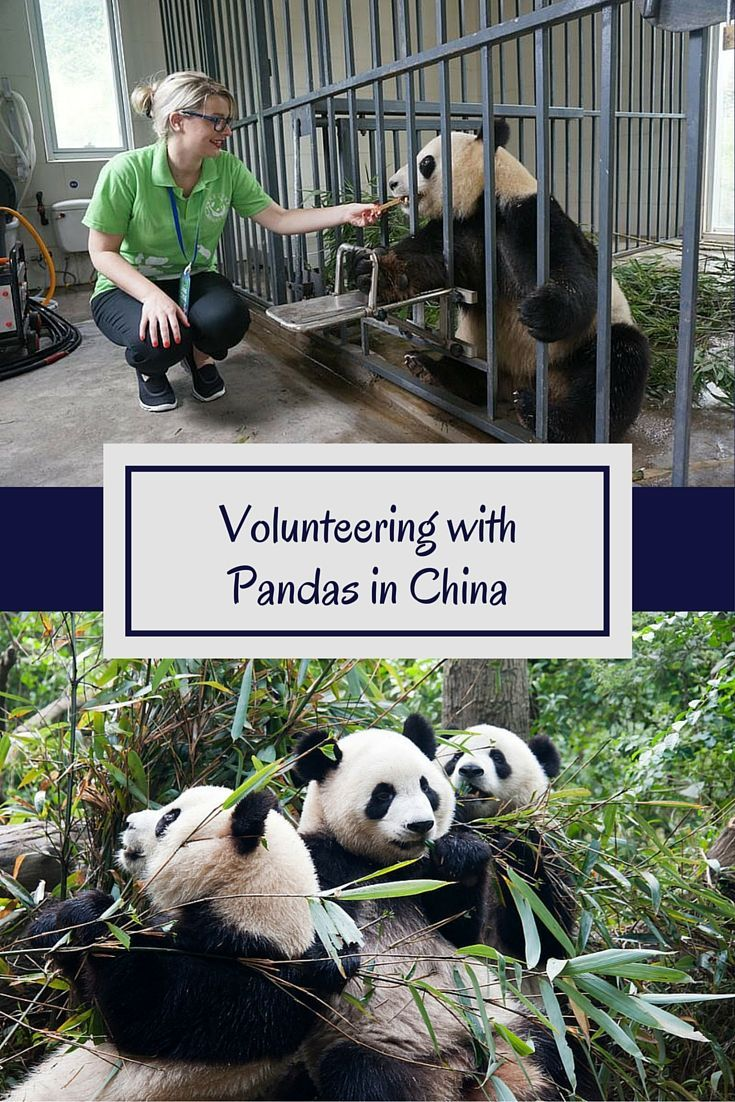 Did you know that you can volunteer with pandas in China with kids? Learn how to get up close and personal with China's national treasures!