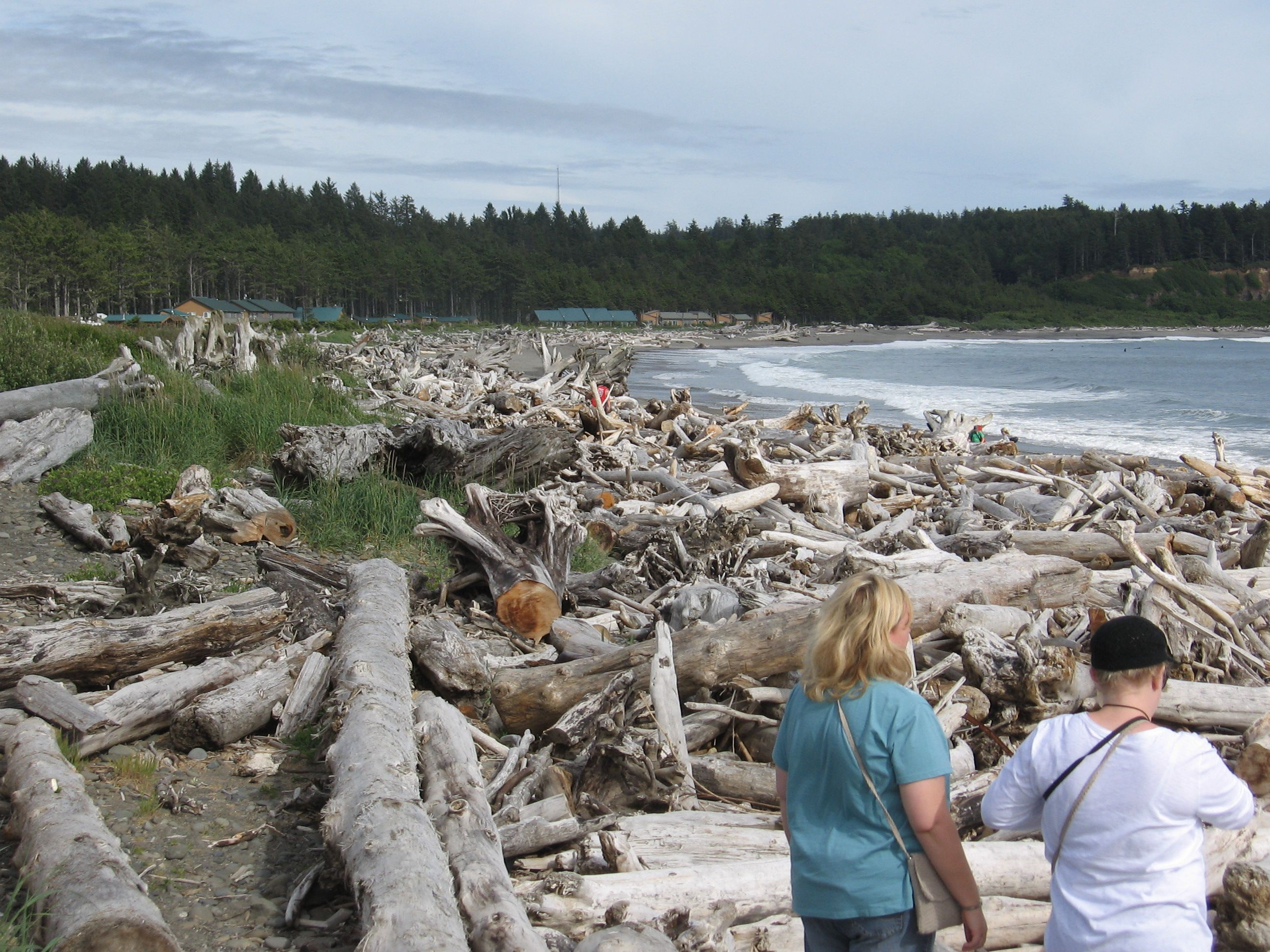 The bones of the forest on First Beach at LaPush, WA