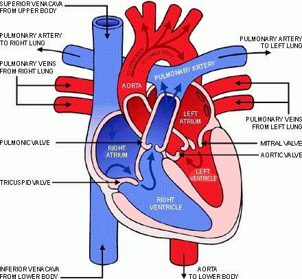 anatomy of the heart | Anatomy of the Heart | CMA Study | Pinterest