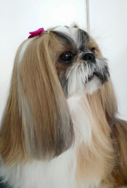 Long Ears Shih Tzu Haircuts Shih Tzu Shih Tzu Puppy Training