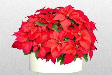 How To Get A Poinsettia Houseplant To Turn Red For Xmas Askjudy