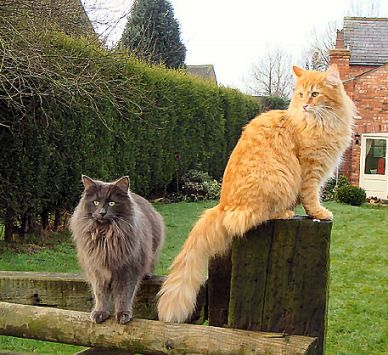 Landsker Taimer And Landsker Tokala Norwegian Forest Cat Siberian Forest Cat Norwegian Forest Cat Breeders