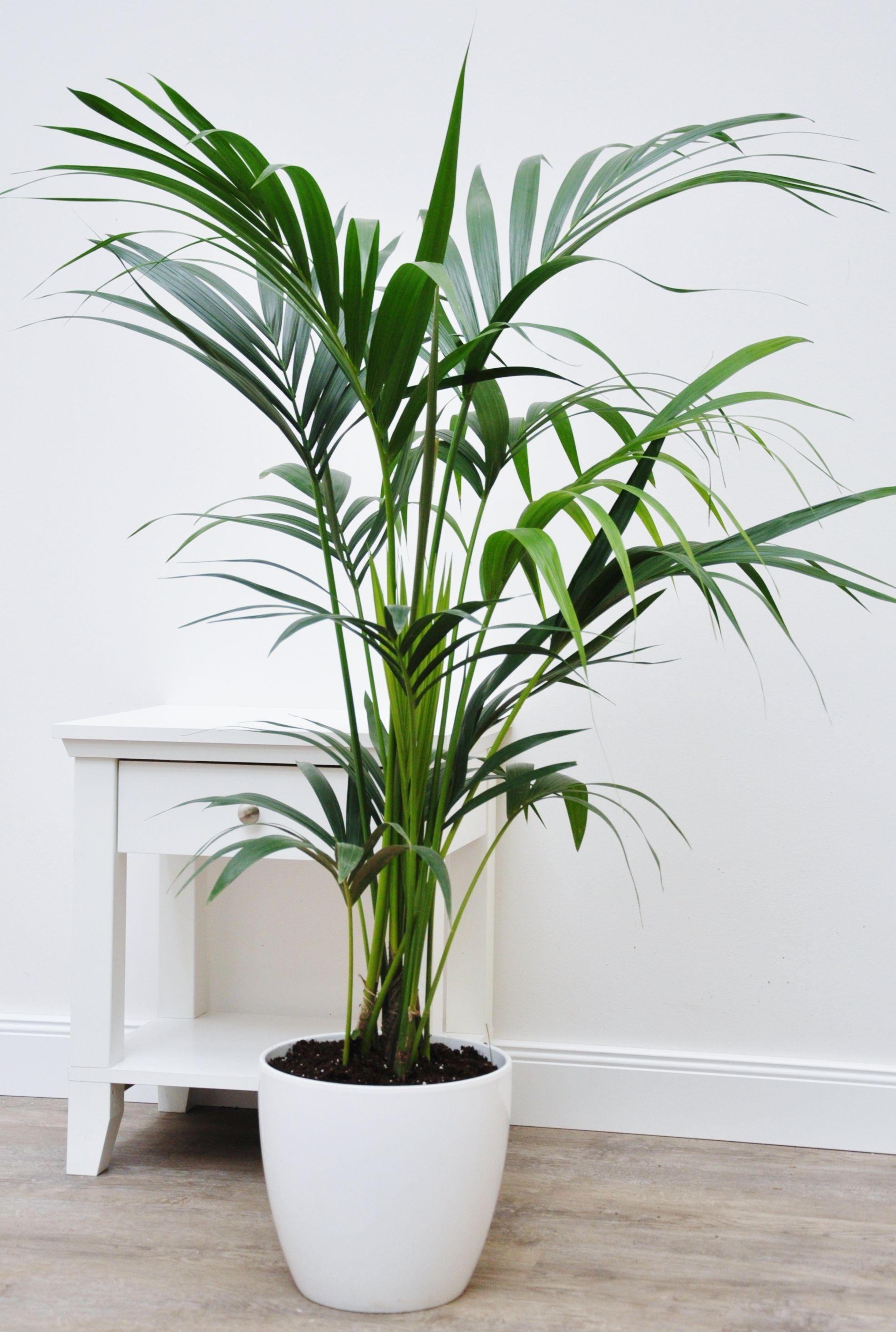 Kentia Palme Tropical House Plants Inside Plants Planting Flowers