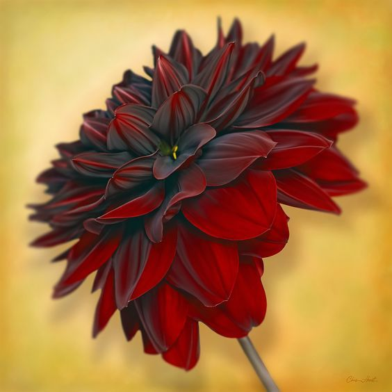 Drawing Of Beautiful Red Dahlia Flower Dahlia Flower Amazing Flowers Love Flowers