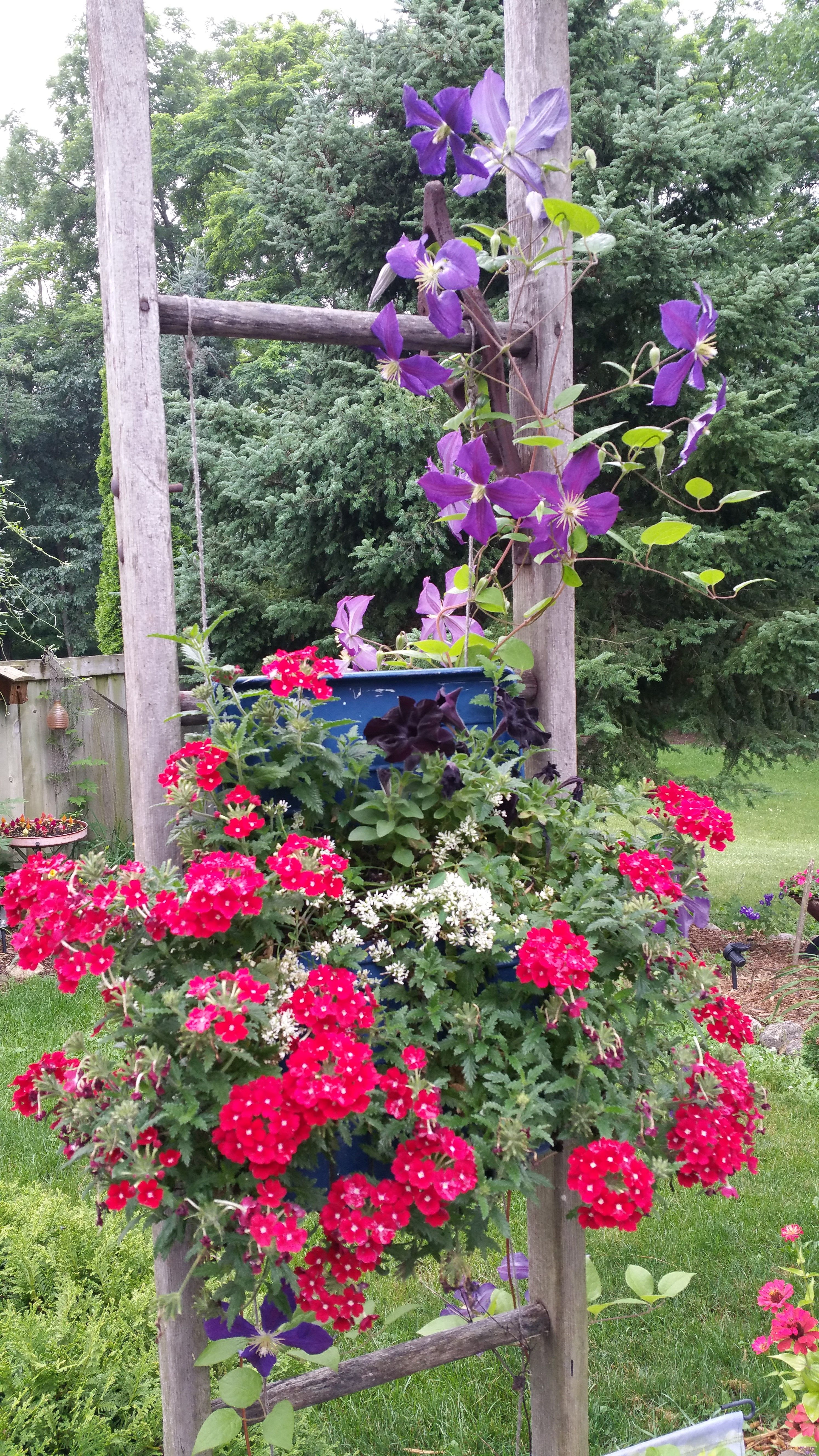 purple clematis on old wooden ladder other flowers in 2 paint trays put together june 2016