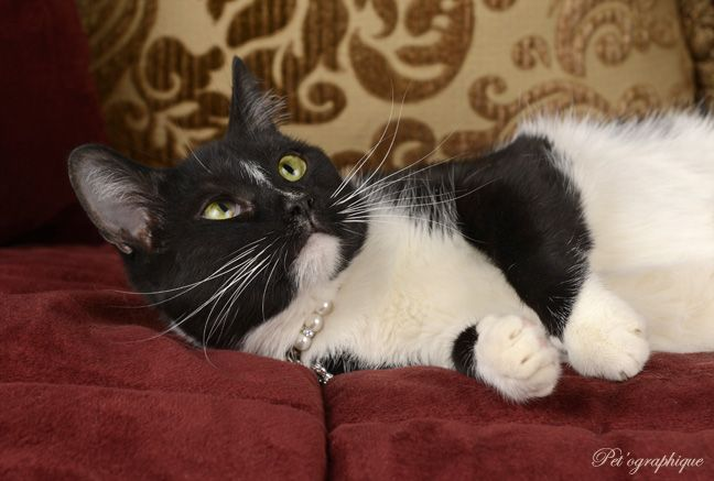 Countess - exceptionally affectionate young girl who loves to be cradled in your arms, 1 of 3 Pet'ographique portraits, now ready for adoption.... http://nevadaspca.blogspot.com/2014/06/countess.html