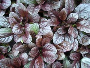 Ground cover perennial for colorful foliage and flowers for Perennial ground cover plants for sun
