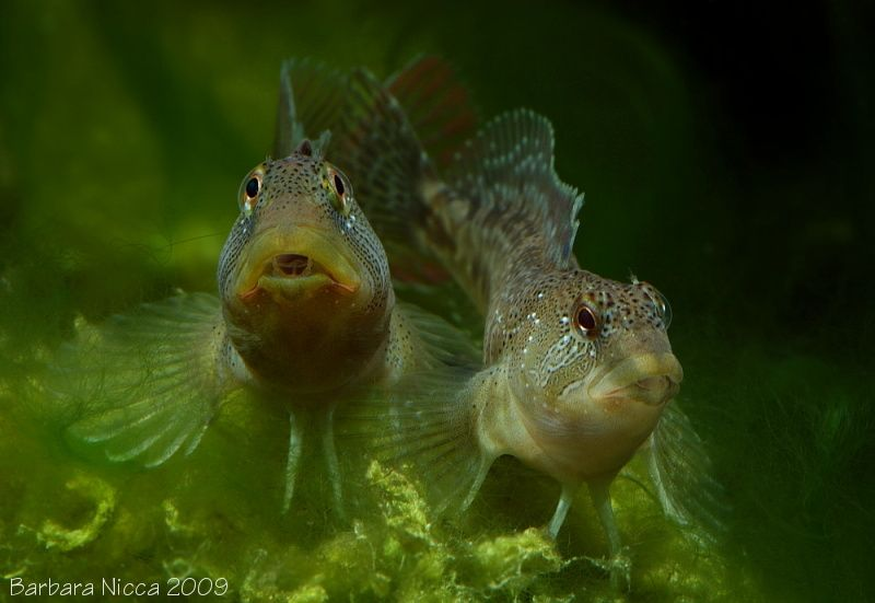 """Salaria fluviatilis (""""Freshwater"""" Blenny) - ~5-6"""" freshwater Blenny from the Mediterranean. More for brackish water."""