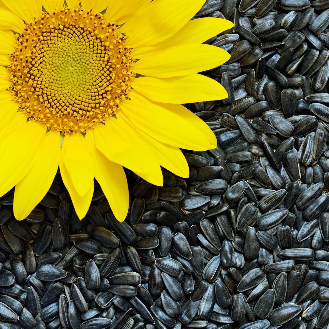 Black Sunflower Seeds Are An Excellent Year Round Food For Birds And Often They Re Even More Popular Than Pean In 2020 Black Sunflower Seeds Sunflower Seeds Sunflower
