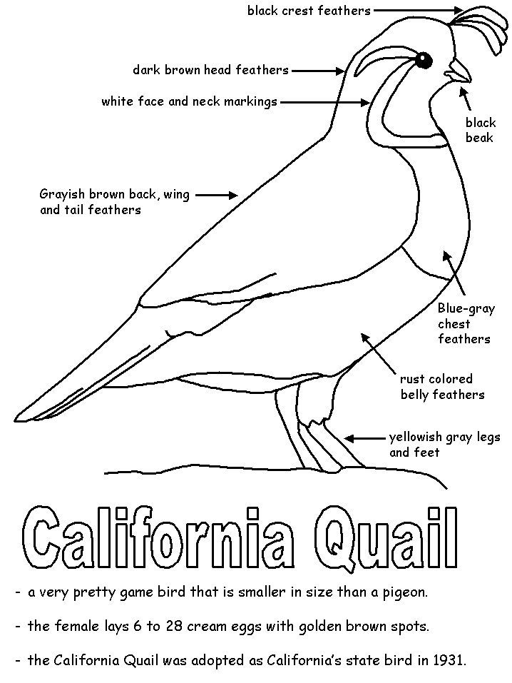 QUAIL UNIT - California State Bird California state bird - new free coloring pages quail