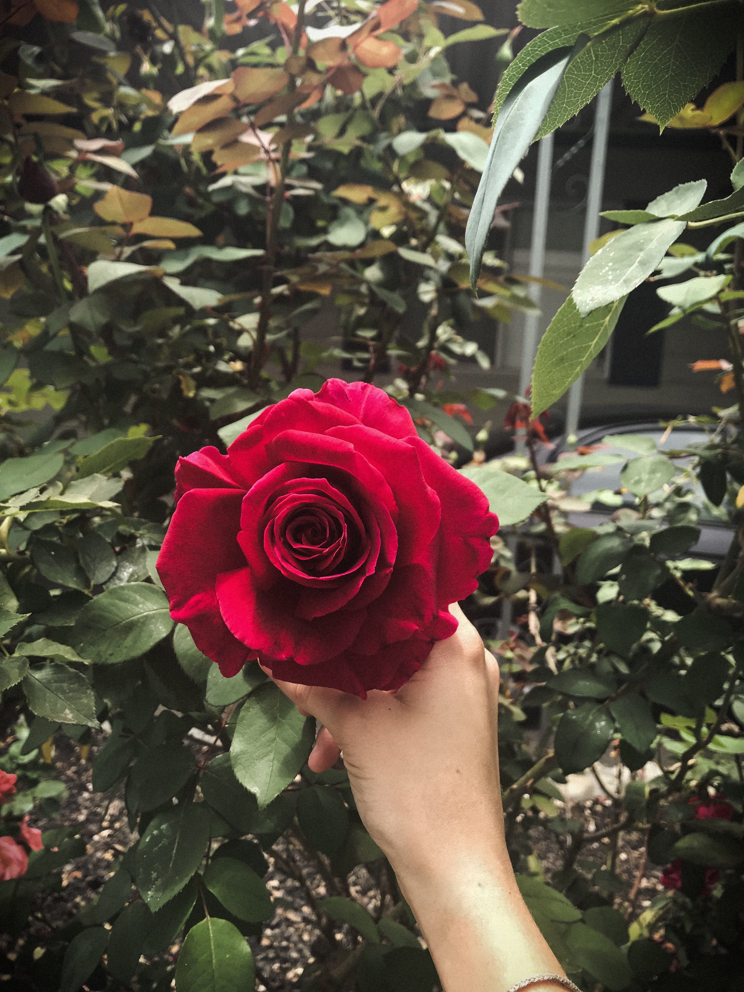 Pin By Nada Ayed ندى On My Pics Love Rose Flower Beautiful Roses Beautiful Flowers