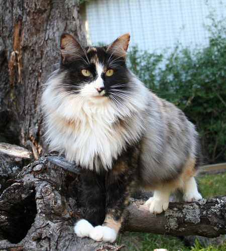 Cybergata Cats Memes New Mexico Norwegian Forest Cat Beautiful Cats Pretty Cats