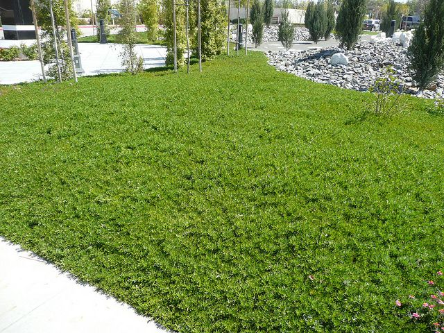 Ground Cover Plants Shade Drought Tolerant