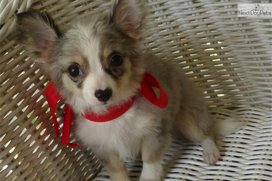 Meet Blue A Cute Chihuahua Puppy For Sale For 600 Long Hair Blue