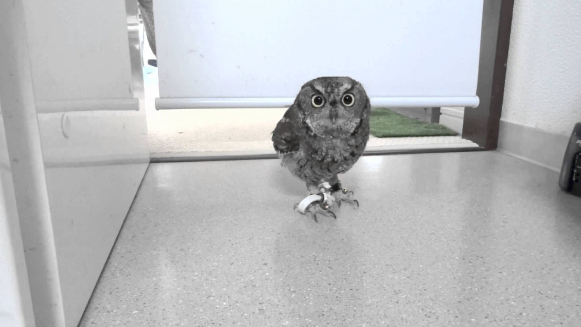 Screech Owl Makes Dramatic Entrance Into Kitchen | Laughing
