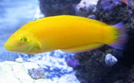 Yellow Wrasse Saltwater Fish Tanks Aquarium Fish Ocean Dwellers