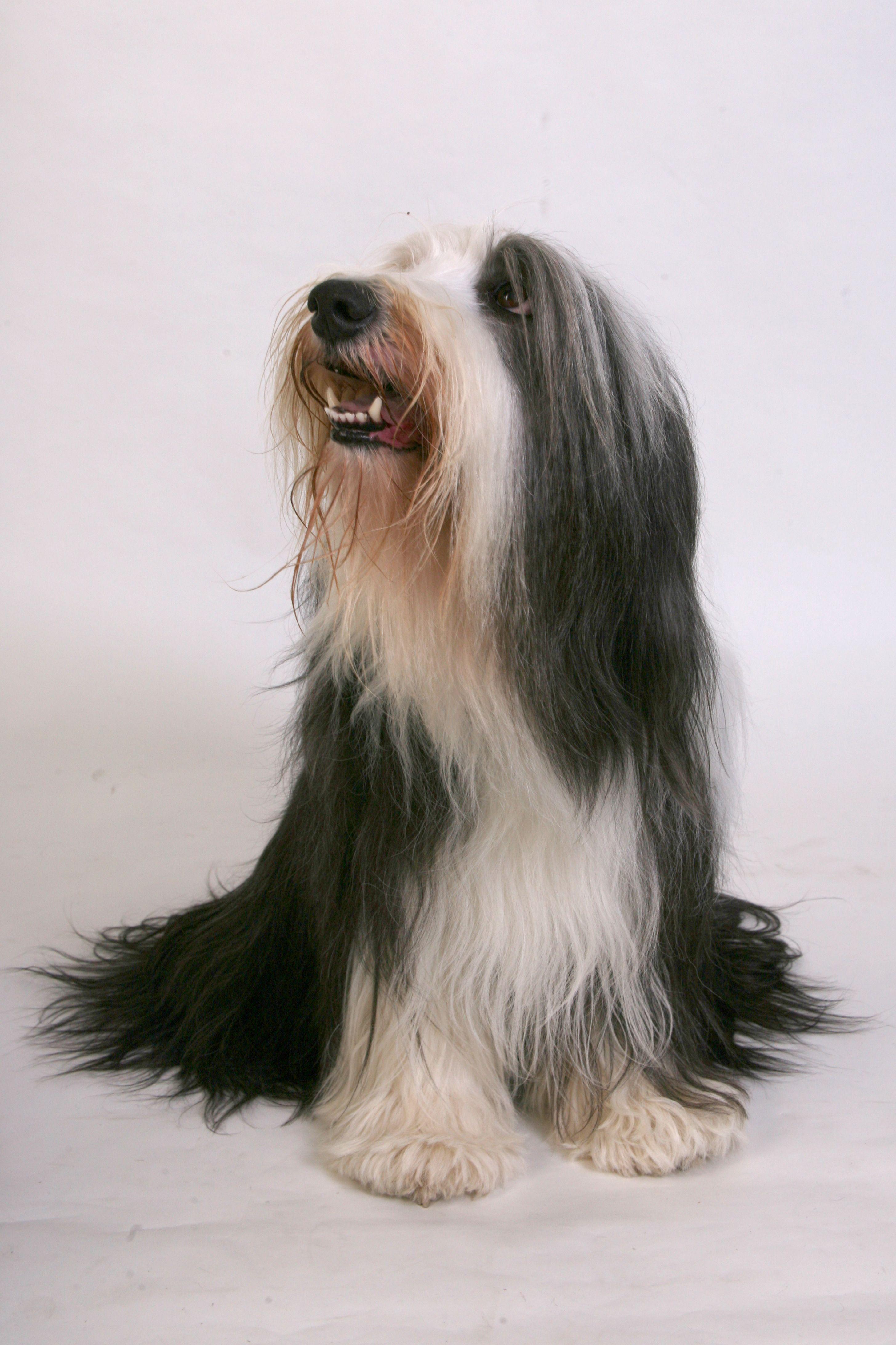 A Bearded Collie Śmieszne psy, Psy i Śmieszne