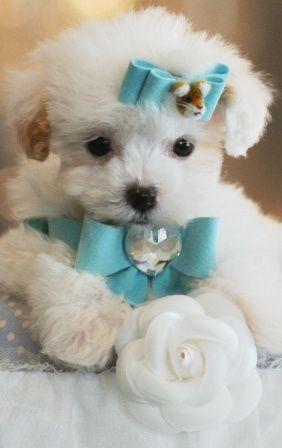 Poodles Toy Poodles Cute Poodles Sweet Poodles Small Dogs Cute Dogs Cute Puppies Cute Poodle Puppies Poodle Cute Dogs Poodle Puppy White