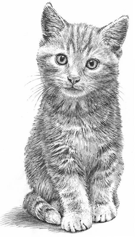Pencil drawing (With images) Kitten drawing, Animal