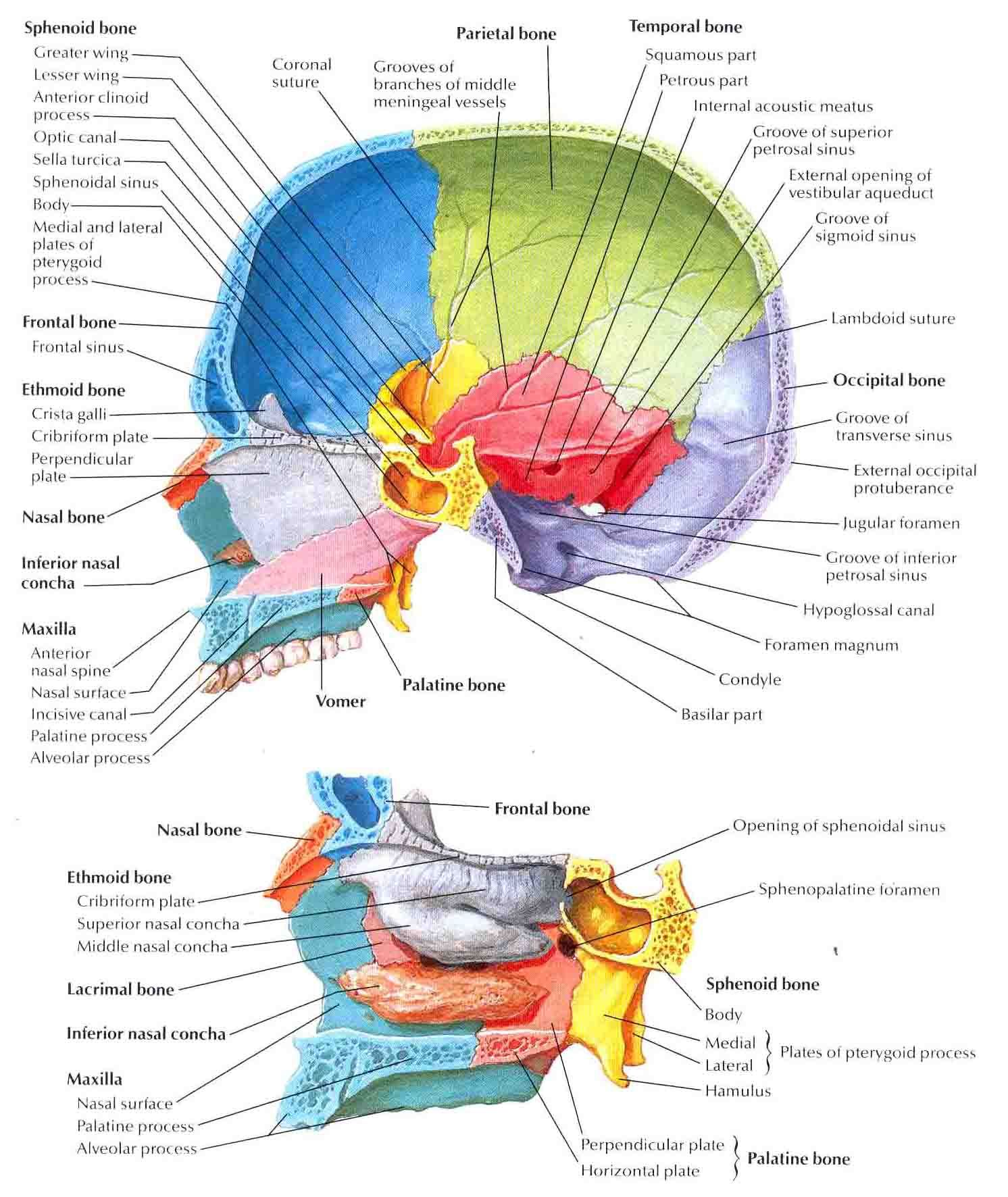 medium resolution of skull midsagittal section labeled biology forums gallery nursing midsagittal skull bone diagram