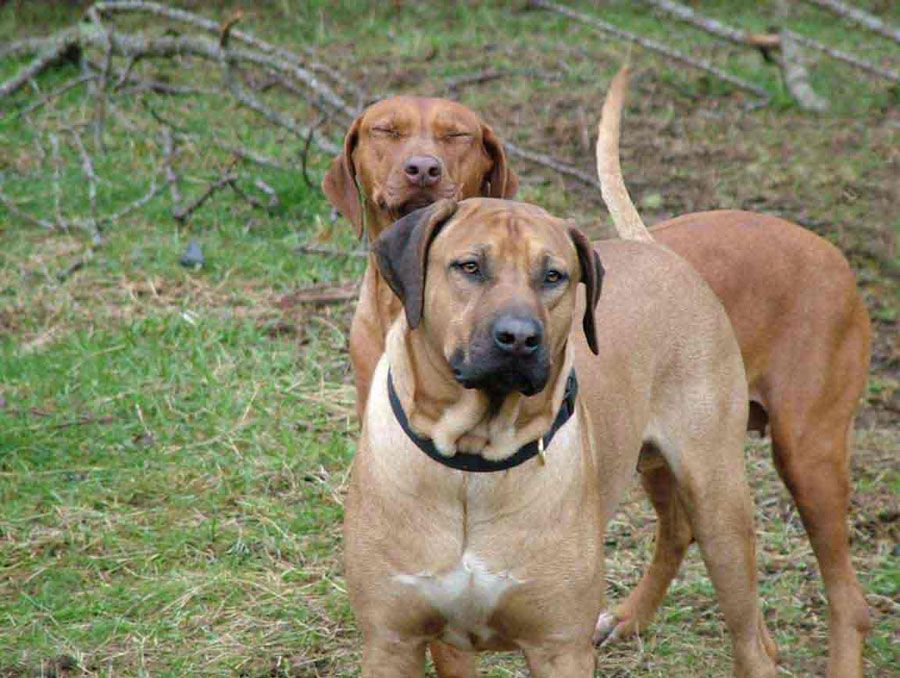 Southridge Apache Red Kelly Lives With Her Forever Family In Yacolt Washingto Rhodesian Ridgeback Rhodesian Ridgeback Dog Rhodesian Ridgeback Puppies
