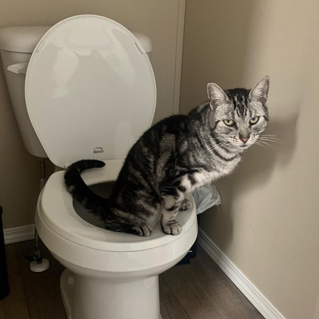 The Weird Things That Go On In This House The Cat Has Figured Out How To Use The Toilet Nomorelitterbox Catlife Smart Cat Life Cool Cats Cats Of Instagram