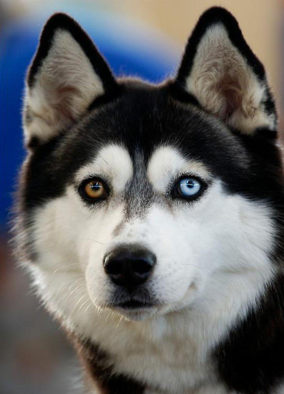 Siberian Husky heterochromia . Beautiful dogs, Animals