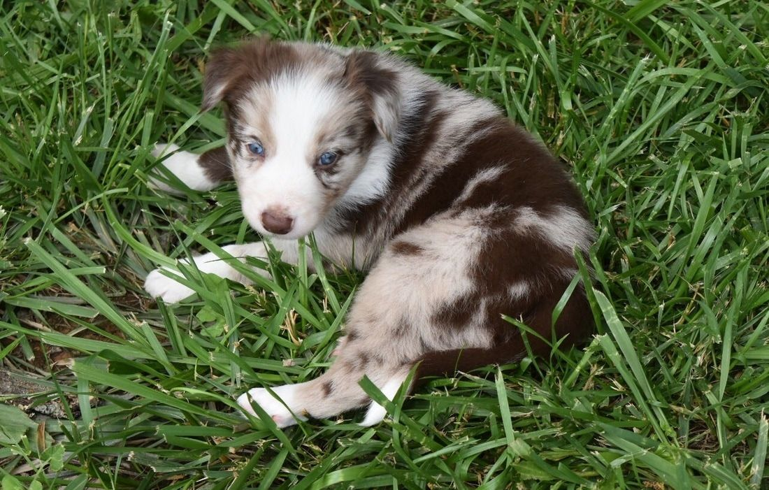 Venti Has A Gorgeous Red Merle Coat And Is A Sweet Border Collie Puppy With Images Border Collie Puppies Maremma Sheepdog Puppy Puppies