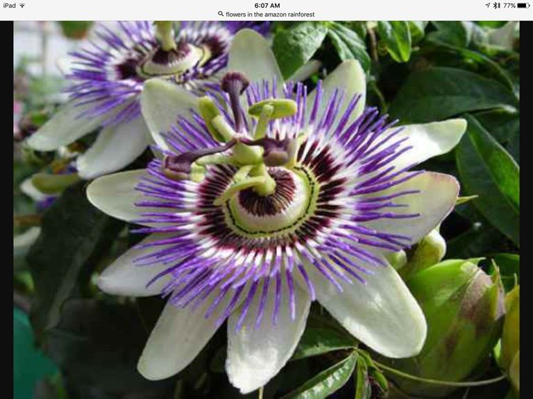 Pin By Sandele1 On Amazon Rainforest And It S People Flora Creatures Animals And Birds No Pin Limits Re Pin As Many Pins As You Like Passion Fruit Flower Passion Vine Passion