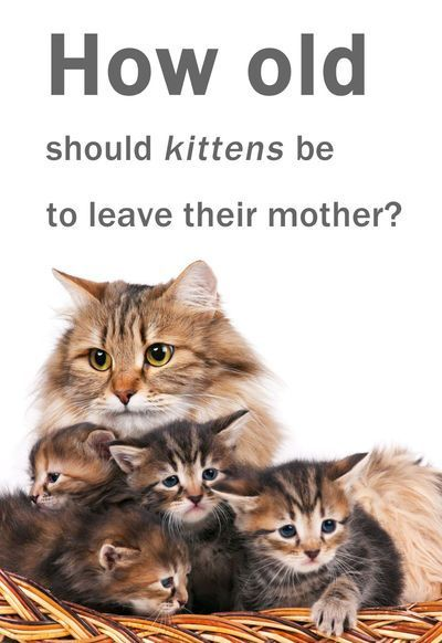 How Old Do Kittens Have To Be To Leave Their Mother Thecatsite Com Community Baby Kittens Kittens Little Kittens