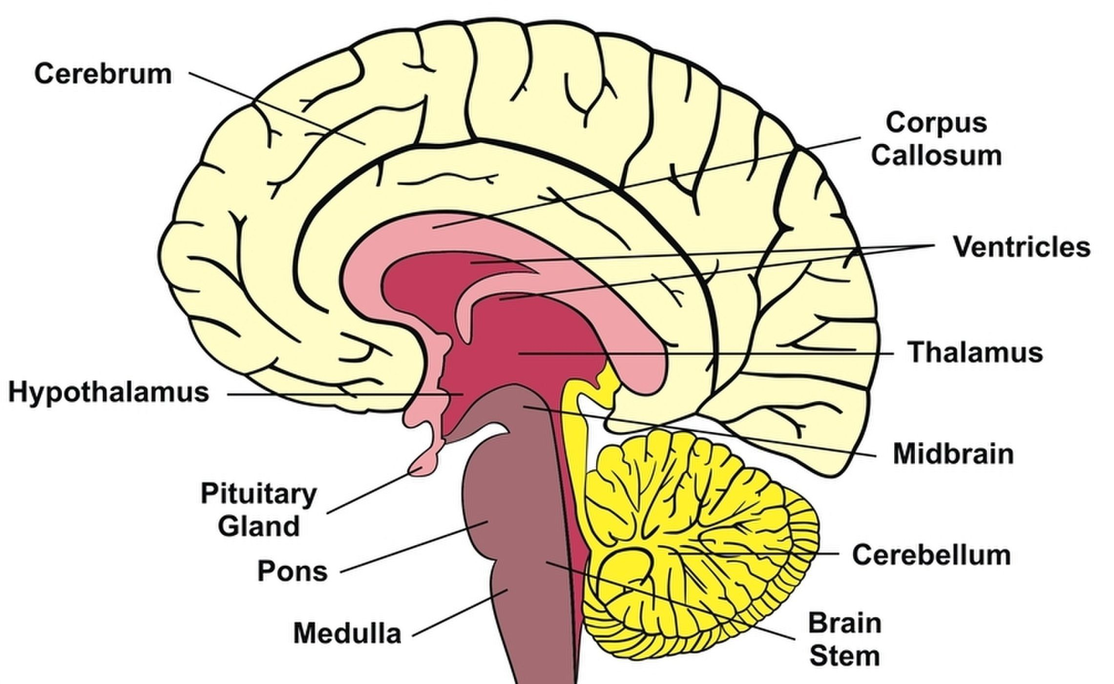 Human Brain: Facts, Functions & Anatomy | Med | Pinterest | Brain ...