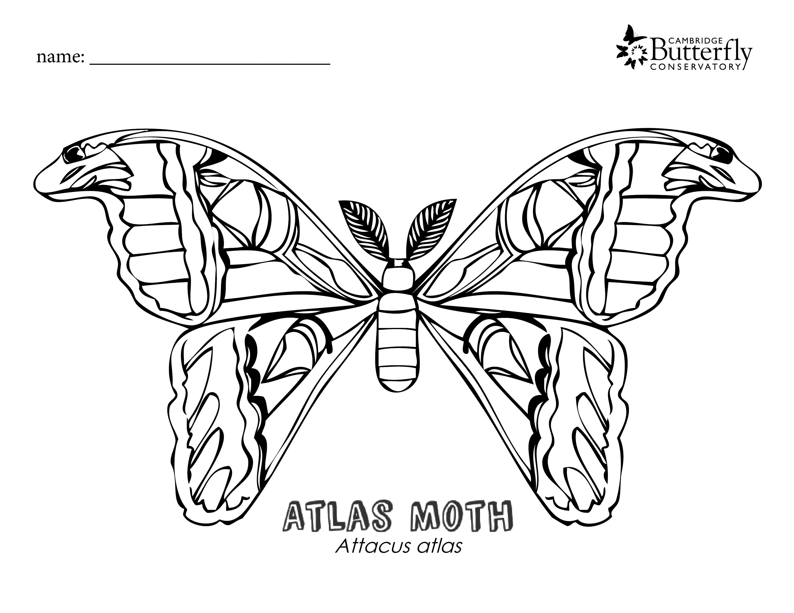Image Result For Atlas Moth Outline Atlas Moth Coloring Pages