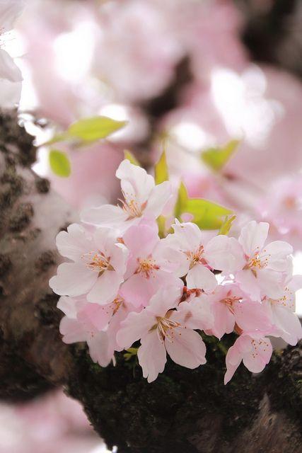 Pin By Teresa Nickell On Simply Sakura Pretty Flowers Beautiful Flowers Love Flowers