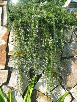 Creeping Rosemary Draping Over A Wall Water Features In The Garden Rosemary Plant Front Garden