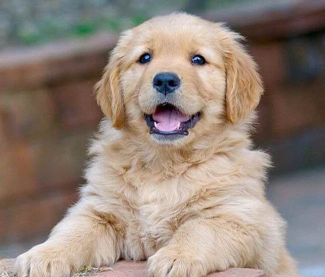 Average Price For Golden Retriever Puppy Cute Retriever Puppy