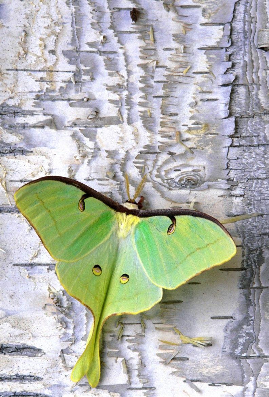 Luna moth on Birch by Bob Jensen on 500px