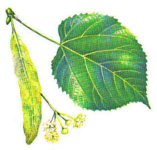 Use Leaves To Identify The Most Common Trees In North America Tree Leaf Identification Tree Identification Tree Id
