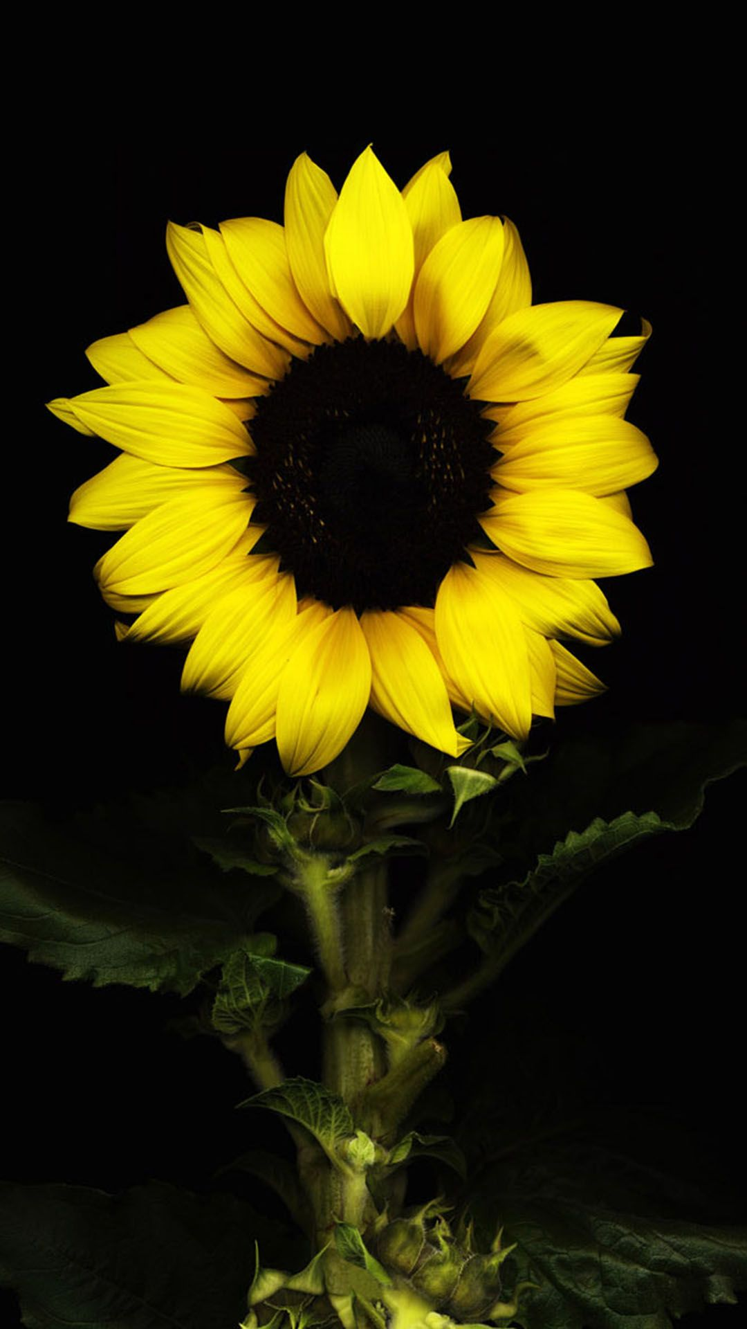 sunflower black Sunflower pictures, Sunflower wallpaper