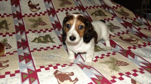 Litter Of 4 Dachshund Puppies For Sale In Ellijay Ga Adn 34364