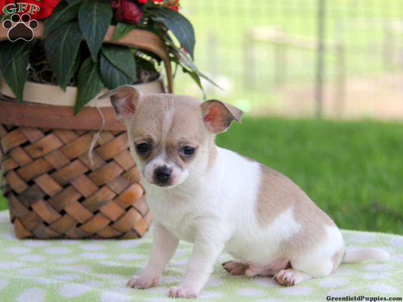 Mavis Chihuahua Puppy For Sale In Paradise Pa Chihuahua Puppies Cute Chihuahua Greenfield Puppies