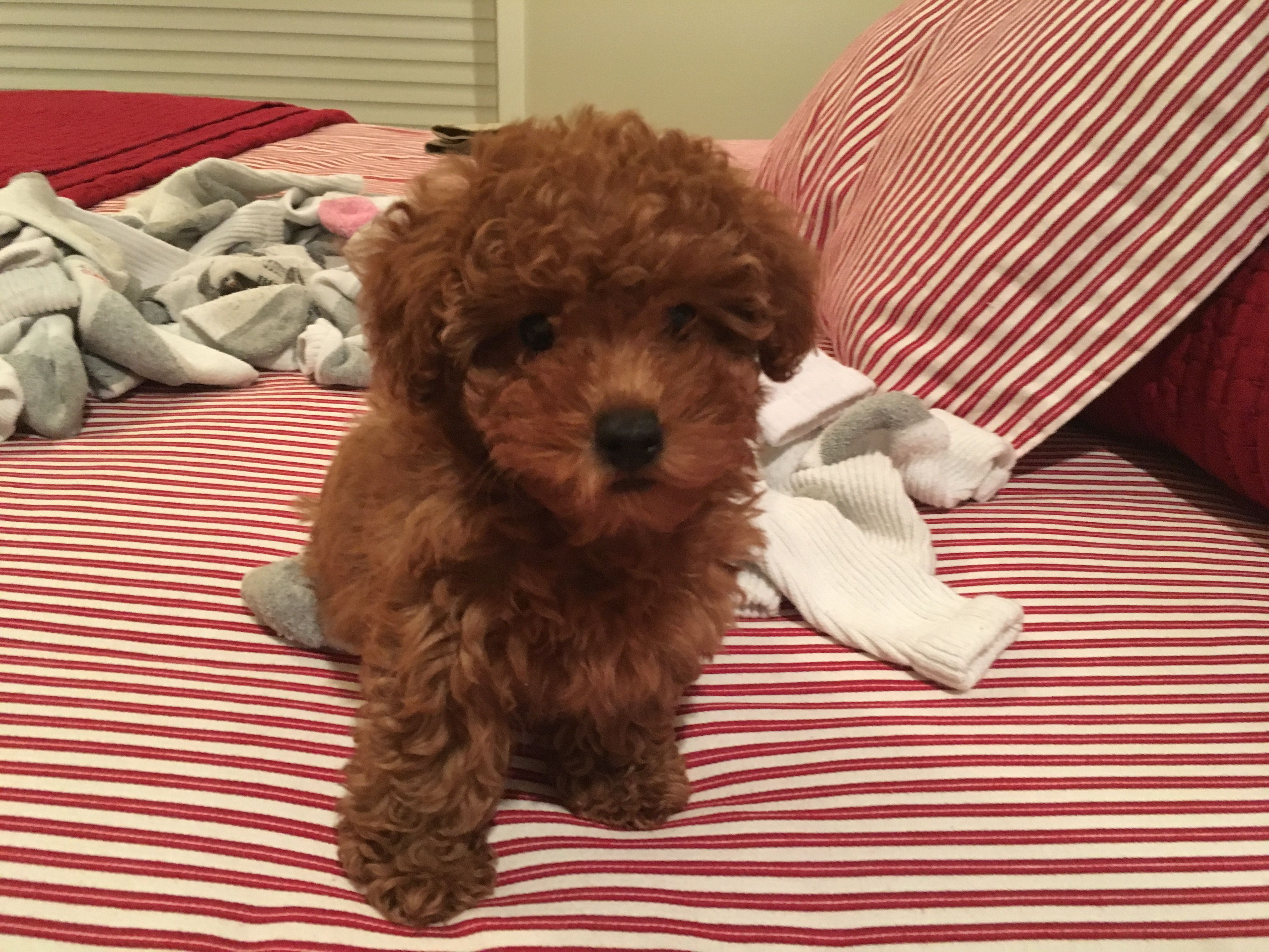 Pin By Katie Fitzgerald On Pippa My Toy Poodle Dog Food Recipes