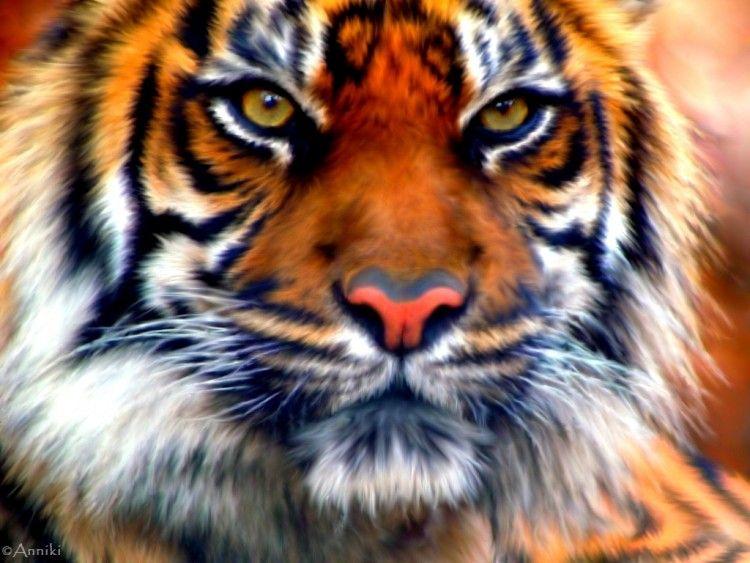Fonds D Ecran Art Numerique Fonds D Ecran Animaux Tete De Tigre Par Anniki Hebus Com Tigre Photographie Animaux Tigre De Siberie