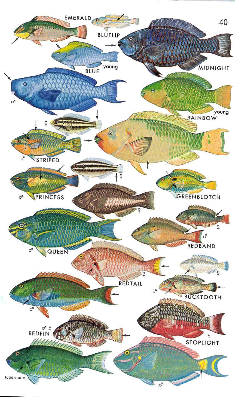 speciation parrotfish Parrot fish
