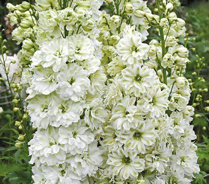New delphinium elatum green twist white flower farm garden delphinium elatum green twist white flower farm mightylinksfo Gallery