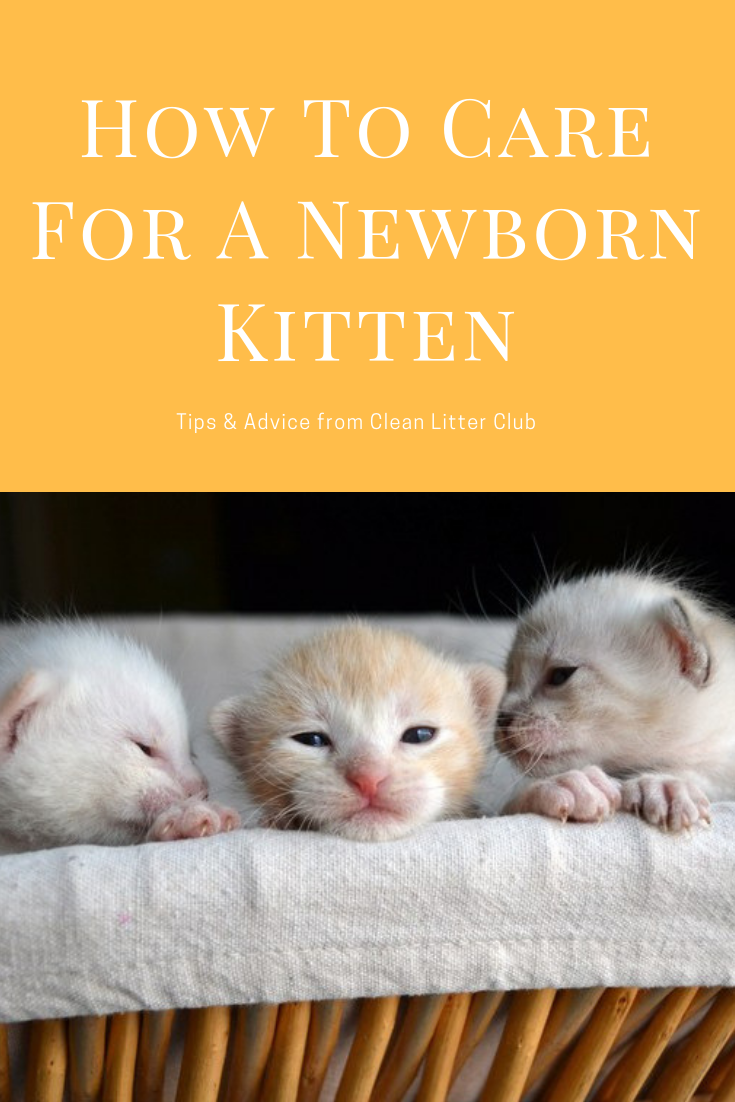 How To Care For A Newborn Kitten Newborn Kittens Taking Care Of Kittens Newborn Care